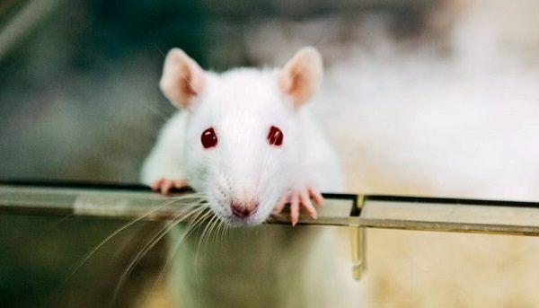 Первый эксперимент Роберта Розенталя - «крысиная мотивация»