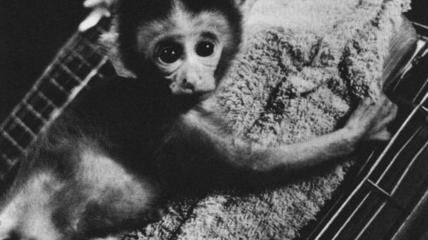 обезьяна-резус