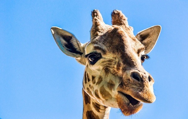 человек считал себя жирафом